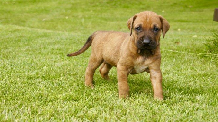 Tosa Inu - šuniukas