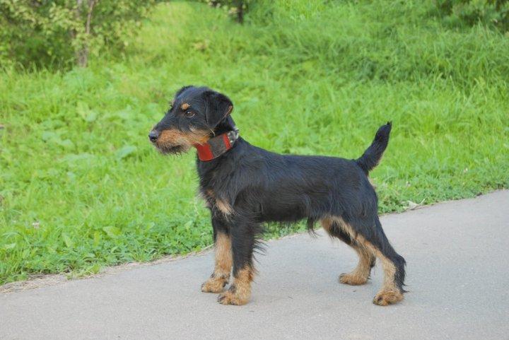 Vokiečių jagdterjeras - šuniukas