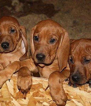 Redbone Kunhaundas - šuniukas