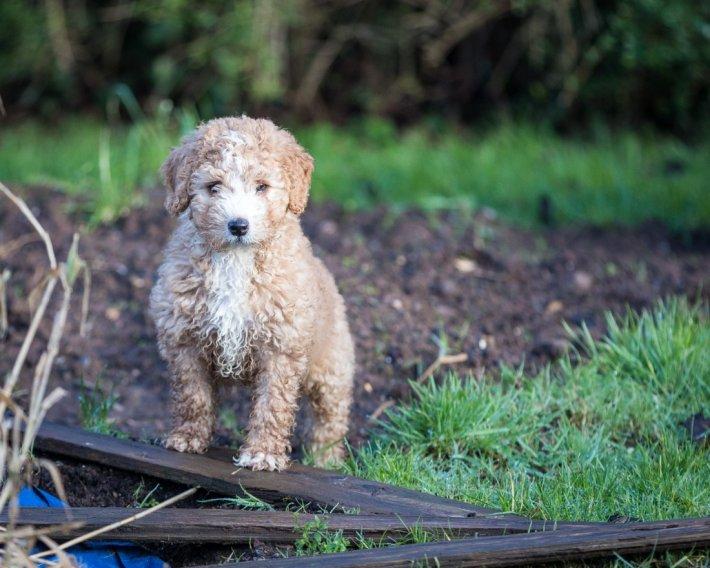 Ispanų vandens šuo - šuniukas
