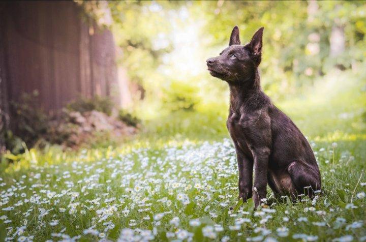 Australų kelpis - šuniukas