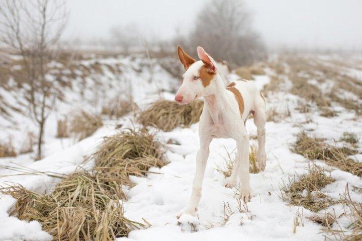 Ibicos podengas - šuniukas