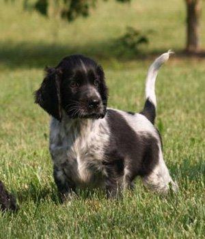 Vokiečių didysis spanielis (Miunsterlenderis) - šuniukas