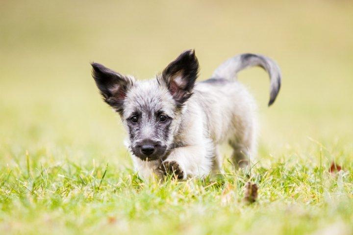 Škotų terjeras - šuniukas
