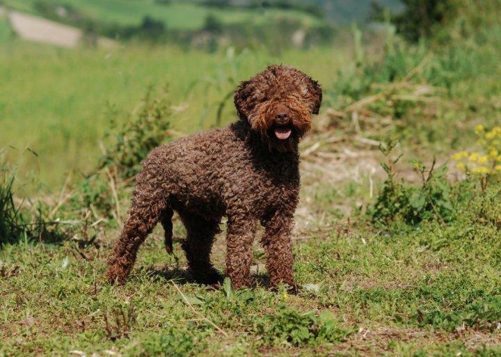 Romanijos vandens šuo - nuotrauka