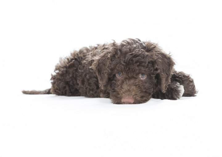 Romanijos vandens šuo - šuniukas