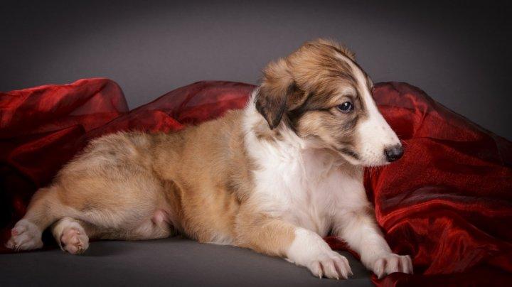 Rusų kurtas - šuniukas