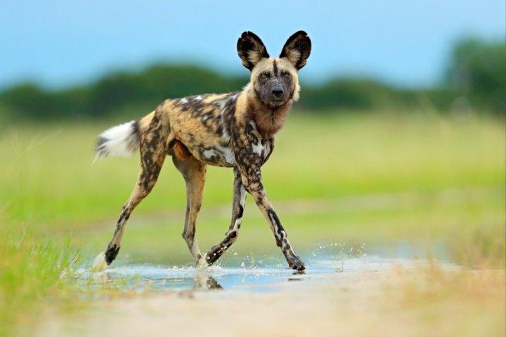 Afrikos hieninis šuo - nuotrauka