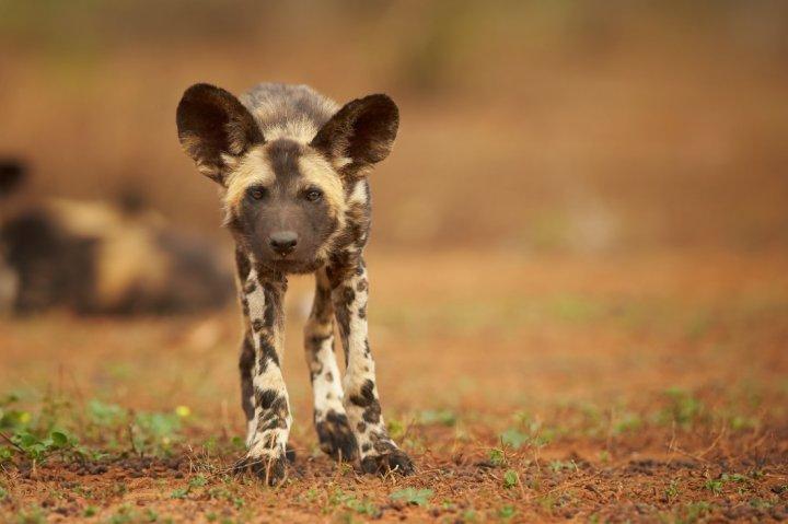 Afrikos hieninis šuo - šuniukas