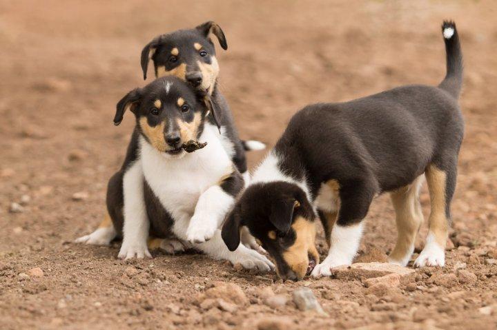 Trumpaplaukis kolis - šuniukas