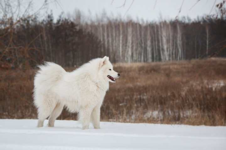 Amerikos eskimų šuo - nuotrauka