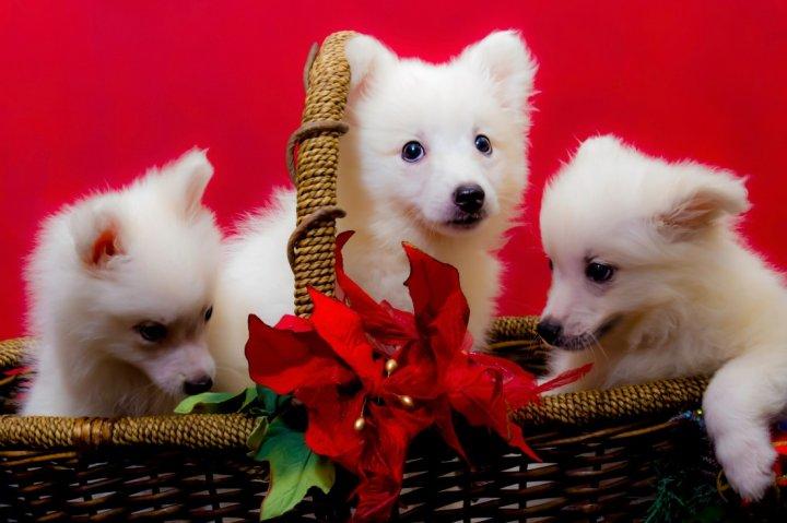Amerikos eskimų šuo - šuniukas