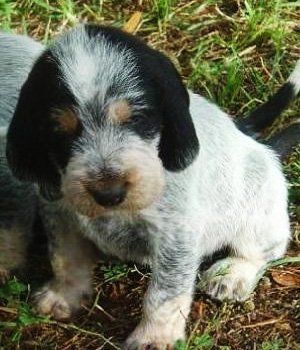 Gaskonės mėlynasis basetas - šuniukas