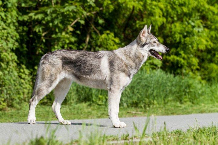 Northern Inuit Dog - nuotrauka