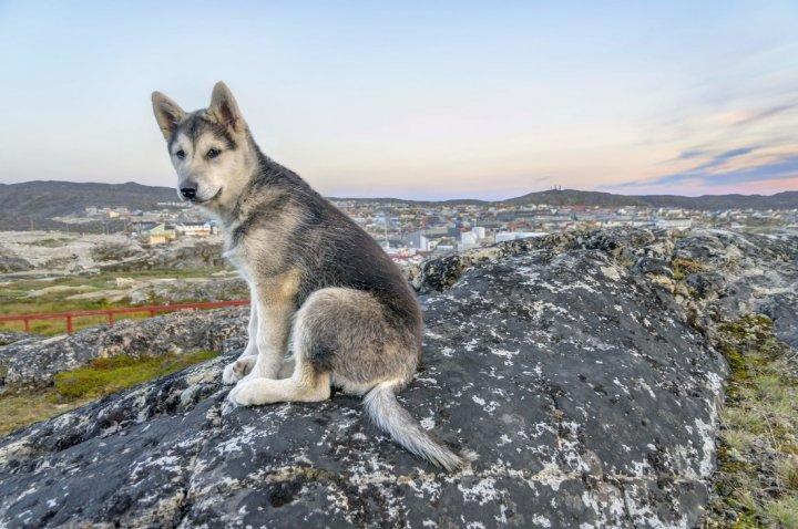 Northern Inuit Dog - šuniukas