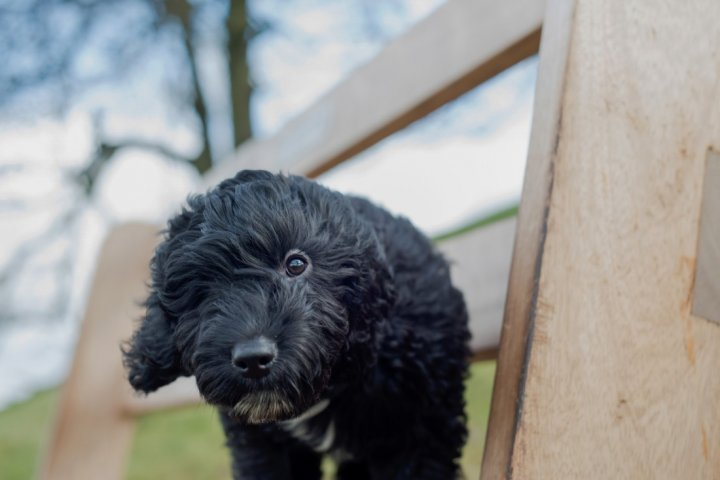 Cockapoo - šuniukas