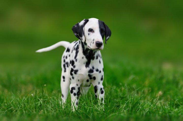 Dalmatinas - šuniukas