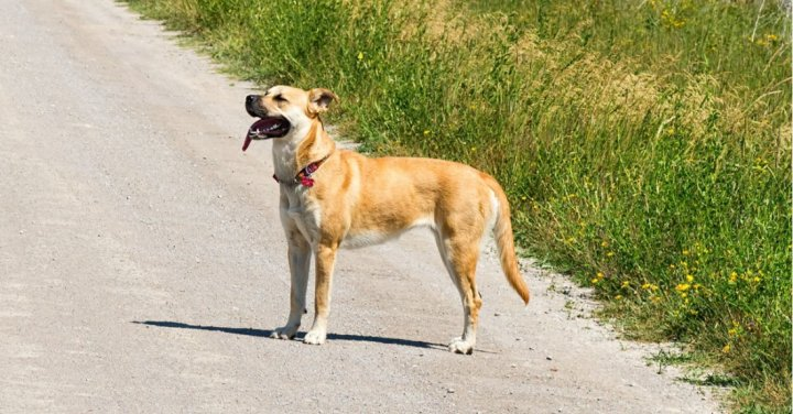 Blackmouth Cur - nuotrauka