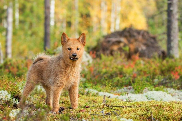 Suomių špicas - šuniukas