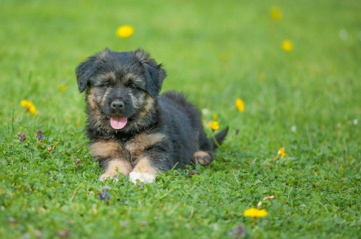 Bergamo aviganis - šuniukas