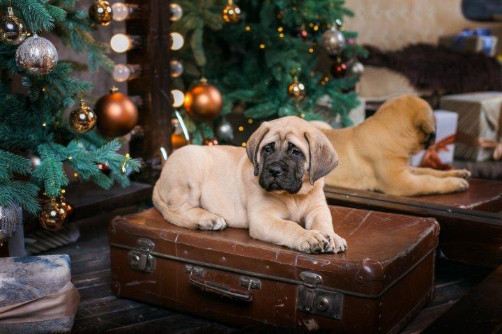 Bulmastifas - šuniukas