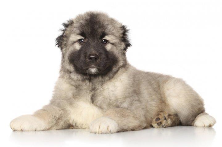 Vidurinės Azijos aviganis - šuniukas