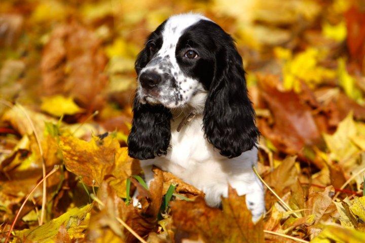 Rusų spanielis - šuniukas