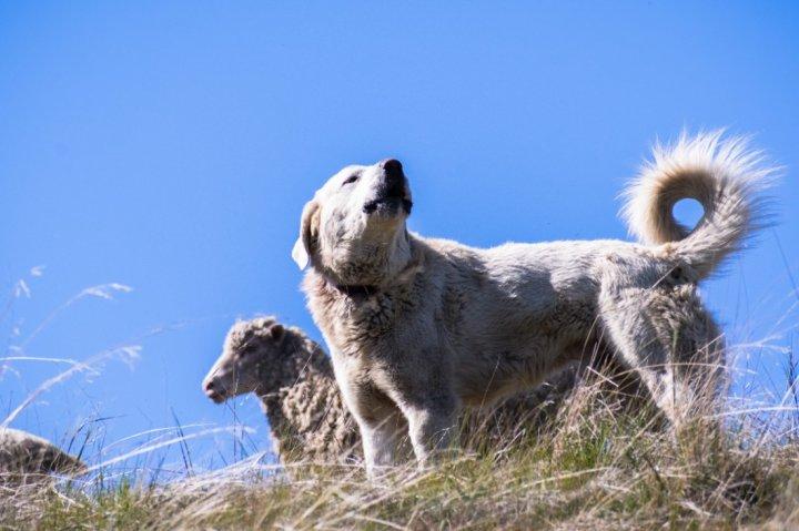 Akbash šuo - nuotrauka