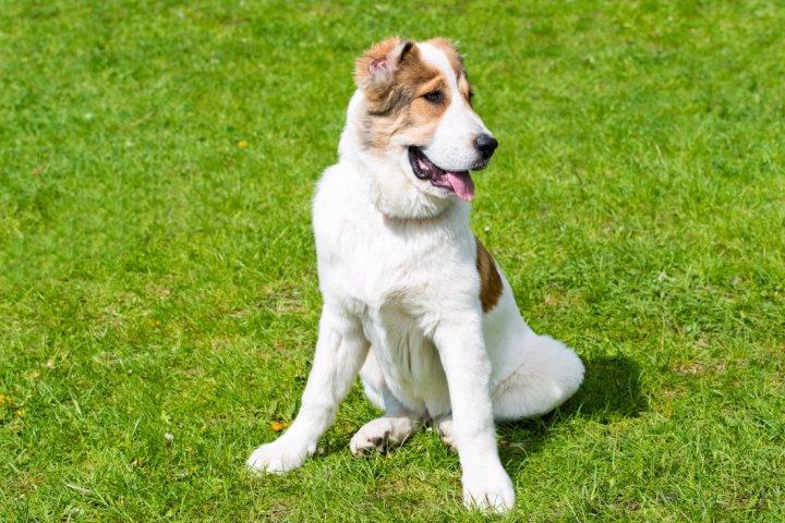 Akbash šuo - šuniukas