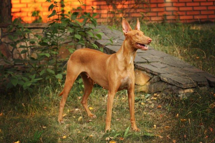 Faraonų šuo - nuotrauka