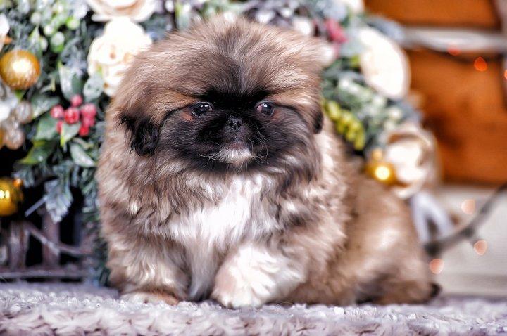 Pekinas - šuniukas
