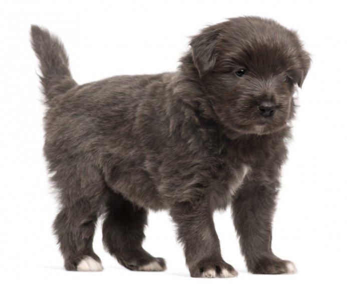 Pirėnų aviganis - šuniukas
