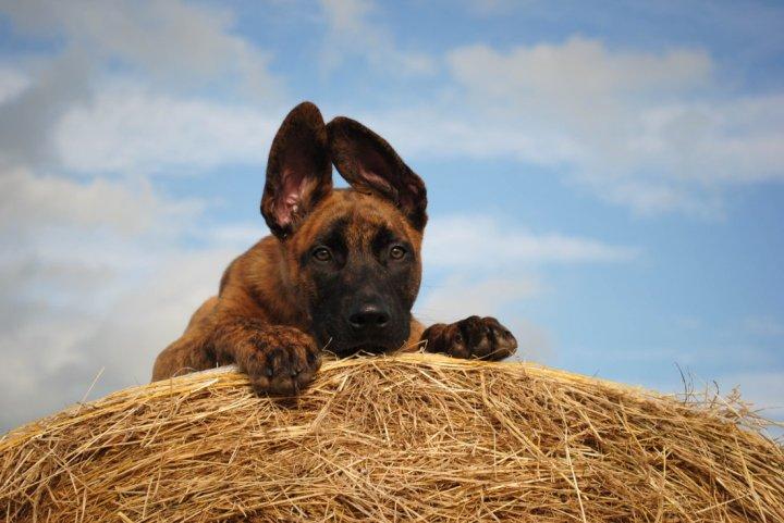 Olandų aviganis - šuniukas