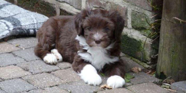 Olandų šapendojus - šuniukas