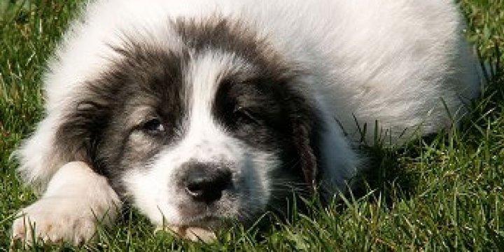 Bukovinos aviganis - šuniukas