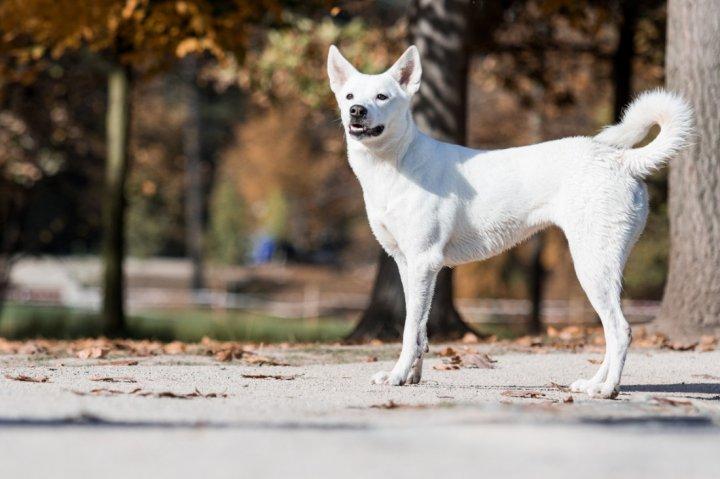 Kanaano šuo - nuotrauka