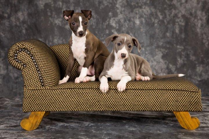Levretė (Italų kurtas) - šuniukas