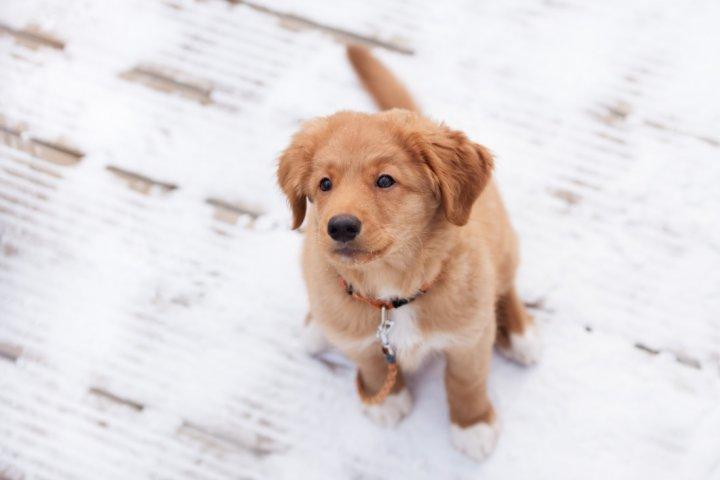 Naujosios Škotijos retriveris - šuniukas