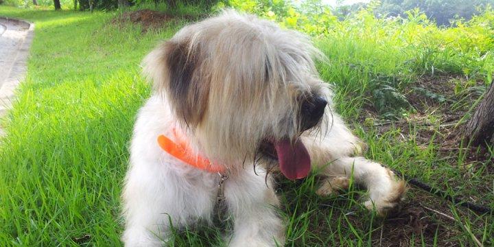 Sapsalis - šuniukas