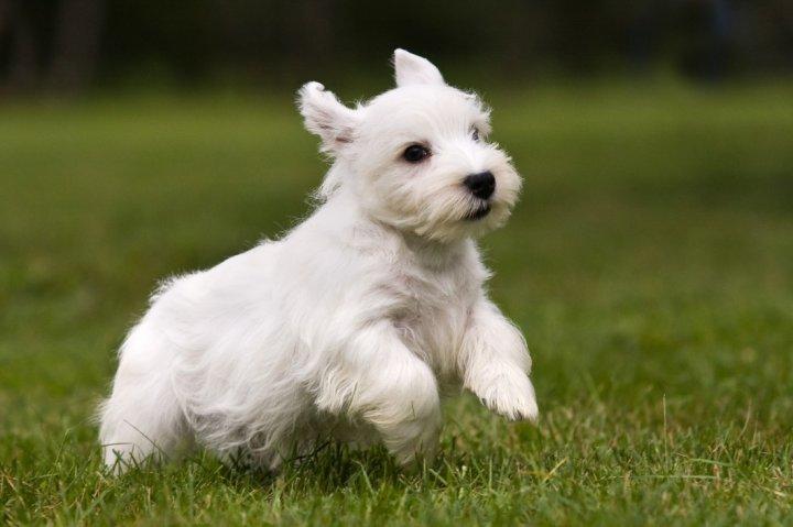 Silihemo terjeras - šuniukas