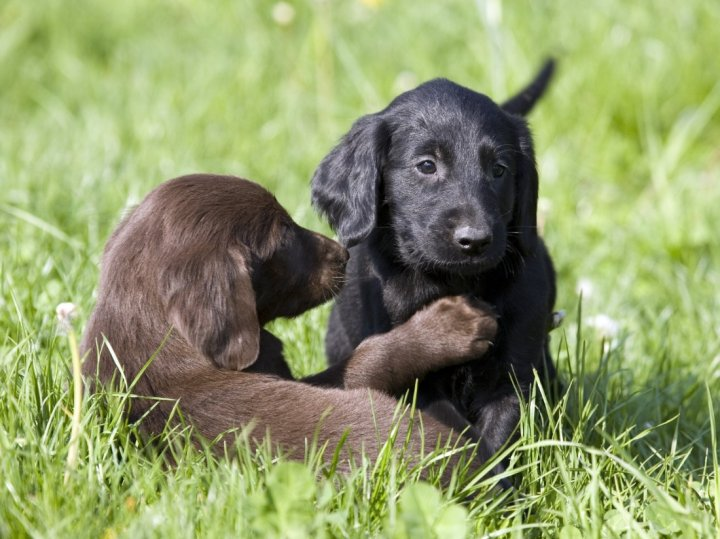 Lygiaplaukis retriveris - šuniukas