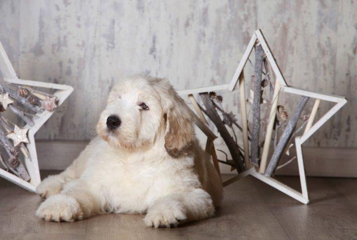 Pietų Rusijos aviganis - šuniukas