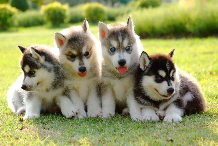 Sibiro haskis - šuniukas