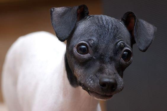 Japonų terjeras - šuniukas
