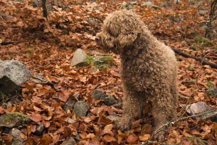 Airių vandens spanielis - šuniukas