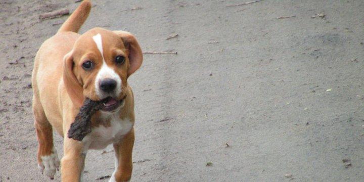 Portugalų pointeris - šuniukas
