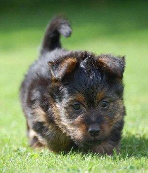 Australų terjeras - šuniukas
