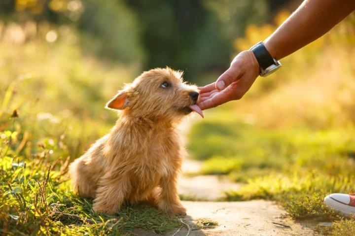 Norvidžo terjeras - šuniukas