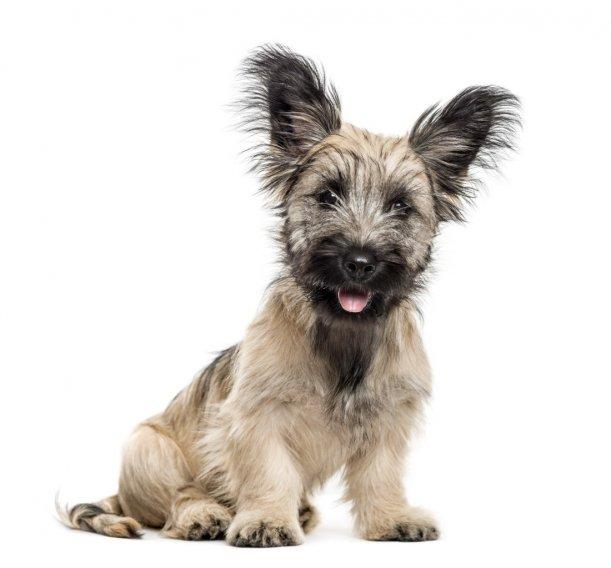 Skajaus terjeras (skaiterjeras) - šuniukas