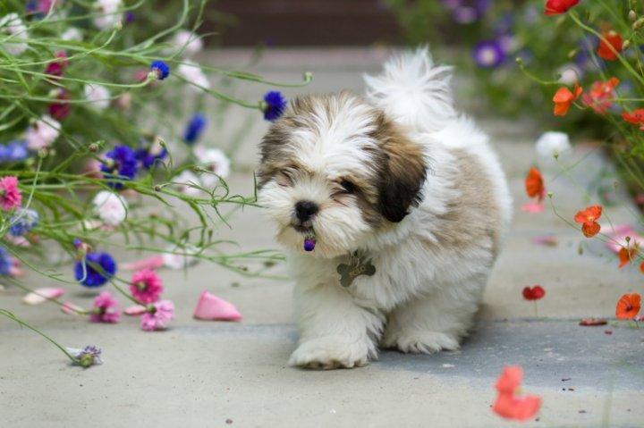 Lasos apsas - šuniukas